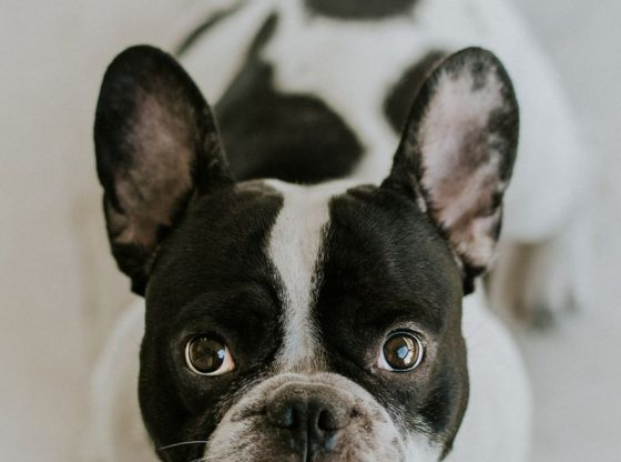 När drömmen om en hund inte blir som man tänkt sig